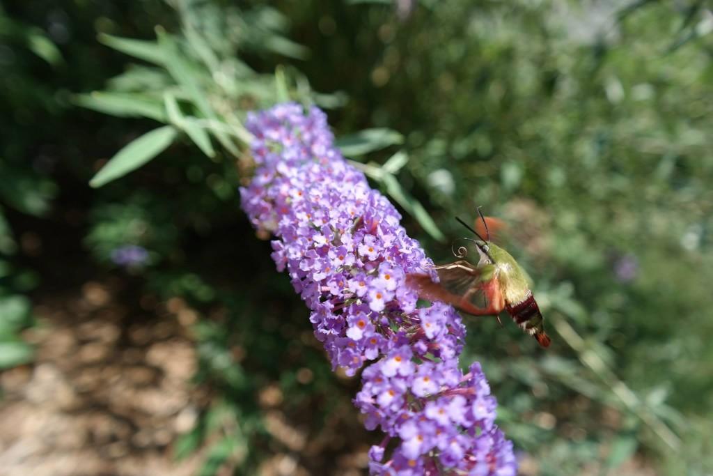 Hummingbird Clearwing Moth, #NX300, #imagelogger, dadofdivas.com